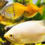 Los 20 mejores peces de agua dulce