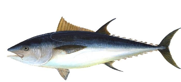 """Todos los Tipos de Atunes """"atún rojo o Atún Blanco"""""""