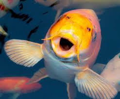 imagen de dorada pez