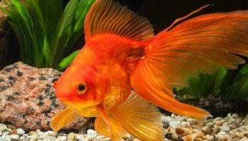 dorada pez como pezcar a la dorada pez