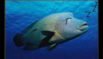 como dormiran los peces, sera que los pescados duermen