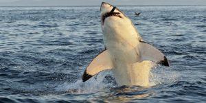 que comen los peces de mar como comen los peces de mar como comera el tiburon