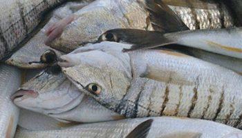 La pesca de las herreras, los mejores consejos para tener éxito