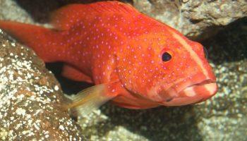 como se pesca pescados de color rojo